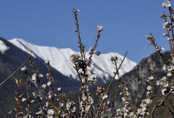 almond-tree-2966780_1280-e1616103565808